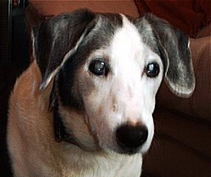eye drops for pet cataracts