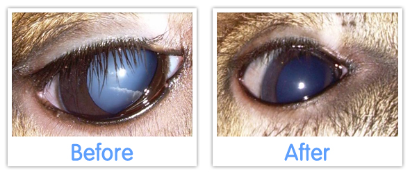 eye drops for animal cataracts